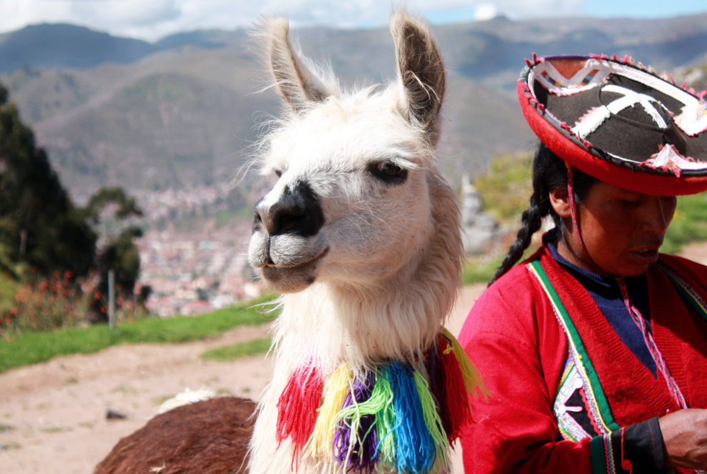 The importance of llamas for the life of the Peruvian people - Viajes Cusco