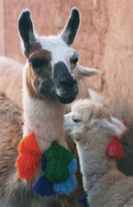 Why do we love llamas? - Cusco Peru