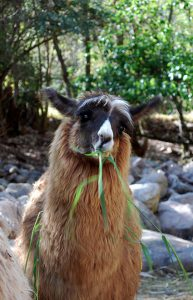 Why do we love llamas - Viajes Cusco